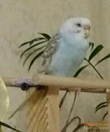 Какого окраса ваши попугаи и какого у них получились птенцы? - photo5463256838293269645.jpg