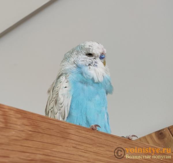 Какого окраса ваши попугаи и какого у них получились птенцы? - IMG_20190923_113931.jpg