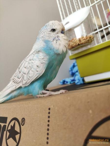 Какого окраса ваши попугаи и какого у них получились птенцы? - IMG_20190923_125755.jpg