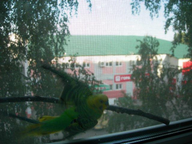 Волнистый попугай Торлуша в западне. - Тор1.jpg