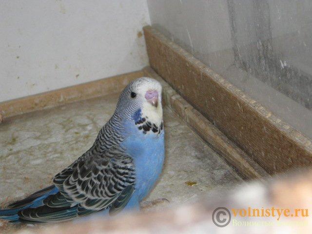 Волнистые попугаи выставочного типа молодежь Москва - IMG_3935.JPG