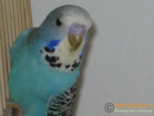 Волнистые попугаи выставочного типа молодежь Москва - IMG_3951.JPG