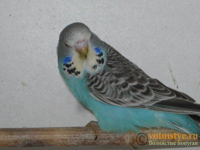 Волнистые попугаи выставочного типа молодежь Москва - IMG_3962.JPG