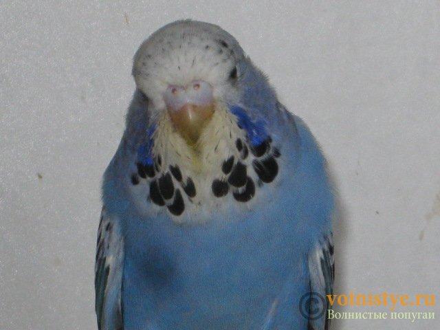 Волнистые попугаи выставочного типа молодежь Москва - IMG_3886.JPG