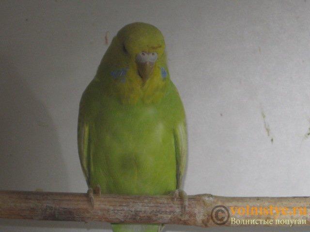 Волнистые попугаи выставочного типа молодежь Москва - IMG_3892.JPG
