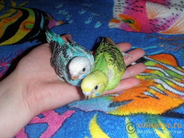Волнистые попугаи -Самки птенцы Москва-Мытищи - P1252992-2.JPG