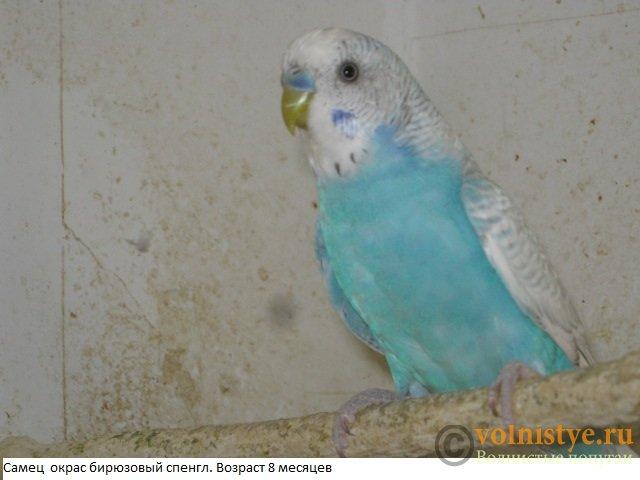 Волнистые попугаи. Самцы молодые - IMG_4171.JPG