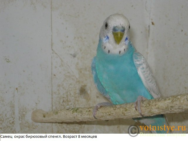 Волнистые попугаи. Самцы молодые - IMG_4172.JPG