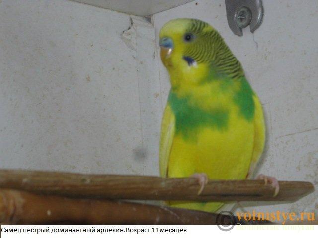 Волнистые попугаи. Самцы молодые - IMG_4177.JPG