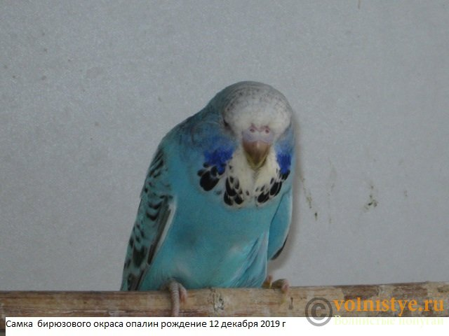 Волнистые попугаи выставочного типа молодежь Москва - IMG_4201.JPG