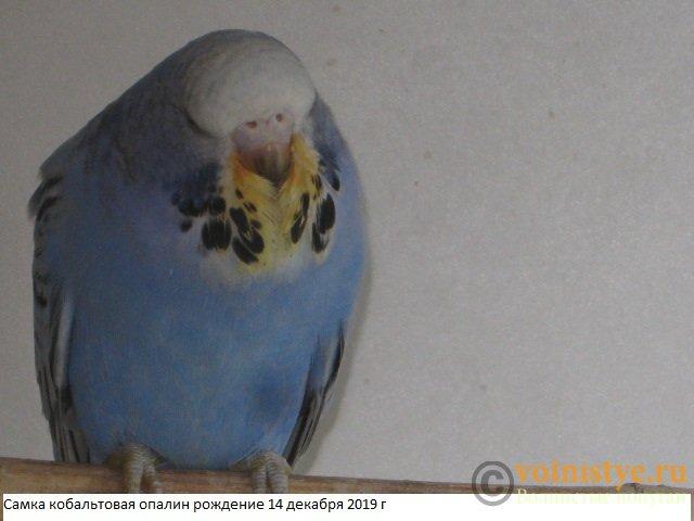 Волнистые попугаи выставочного типа молодежь Москва - IMG_4186.JPG