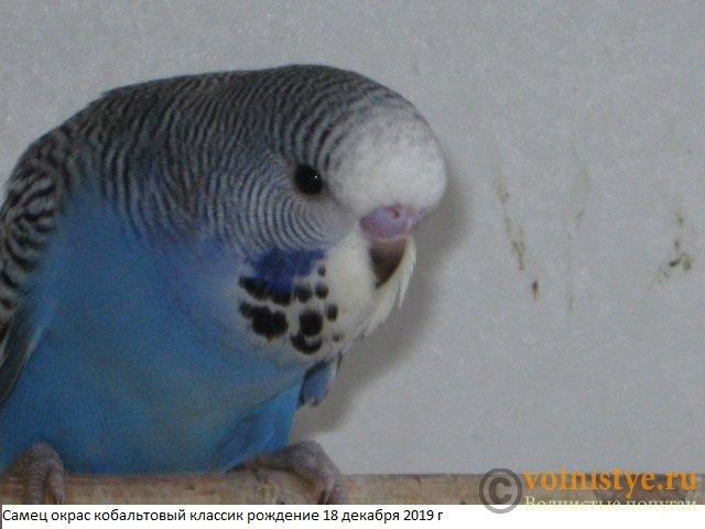 Волнистые попугаи выставочного типа молодежь Москва - IMG_4190.JPG