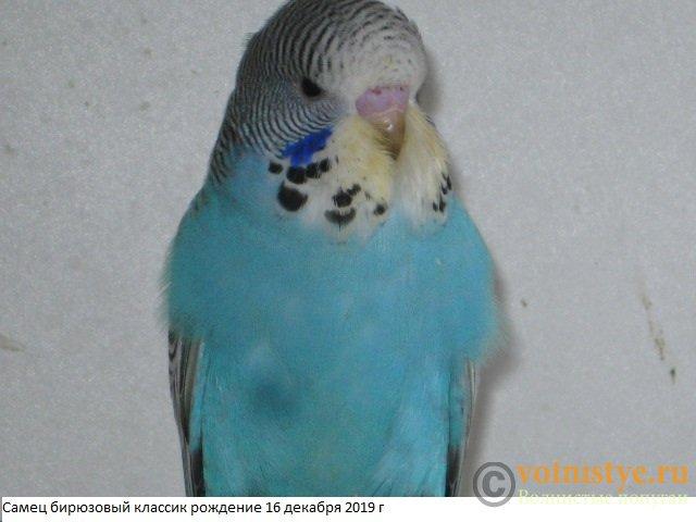 Волнистые попугаи выставочного типа молодежь Москва - IMG_4196.JPG