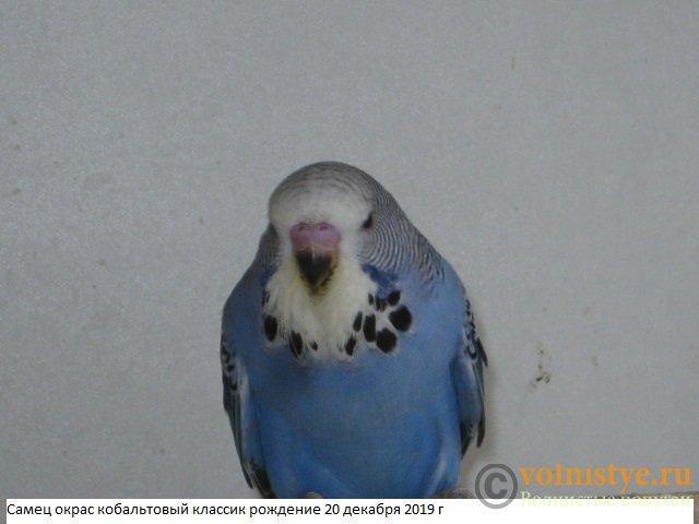 Волнистые попугаи выставочного типа молодежь Москва - IMG_4212.JPG