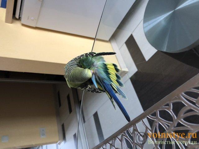 Фотографии  для статьи  окрасы волнистых попугаев - C56BF36D-2830-4FC1-92D7-683F9A1913C7.jpeg