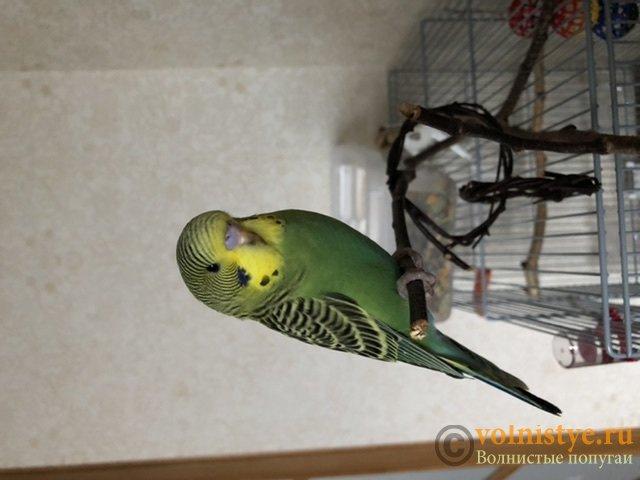 Фотографии  для статьи  окрасы волнистых попугаев - 10DFEE86-85C0-4A13-ABC4-84BB4EF1331C.jpeg