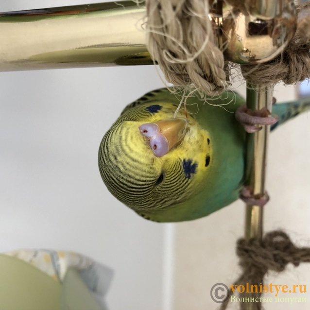 Фотографии  для статьи  окрасы волнистых попугаев - 02DF6B6A-D720-4B9E-B446-C50E7D8FD106.jpeg