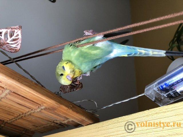 Фотографии  для статьи  окрасы волнистых попугаев - 2D60D0CA-8048-45B9-91DD-A323D12FBBB7.jpeg