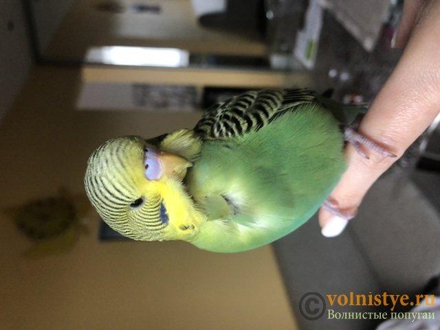Фотографии  для статьи  окрасы волнистых попугаев - F1DBA9A2-DCBE-4F75-B2FD-3F353C9E645E.jpeg