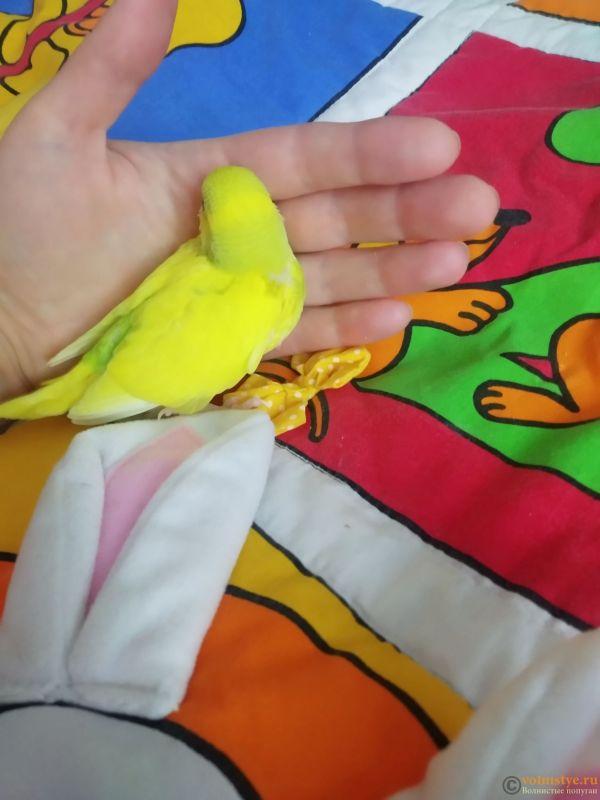 Волнистые попугаи Птенцы -Бронь Мытищи - IMG_20200519_123443.jpg