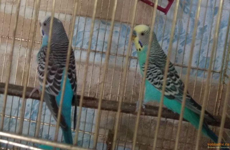 Какого окраса ваши попугаи и какого у них получились птенцы? - IMG_20200715_132031.jpg