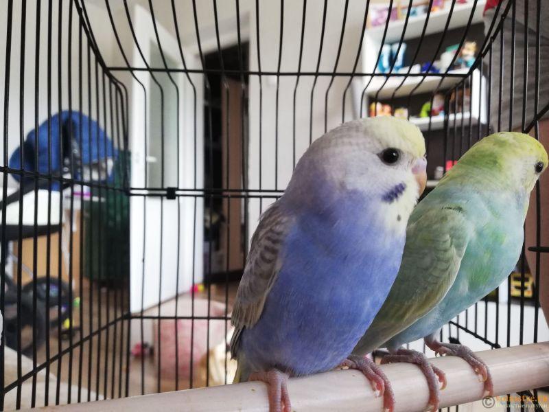 Какого окраса ваши попугаи и какого у них получились птенцы? - IMG_20200717_170034.jpg