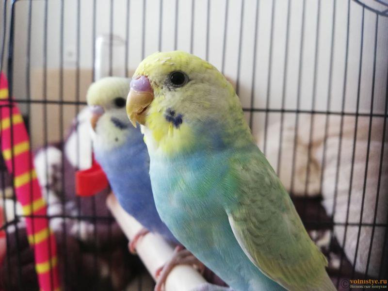 Какого окраса ваши попугаи и какого у них получились птенцы? - IMG_20200717_165334.jpg