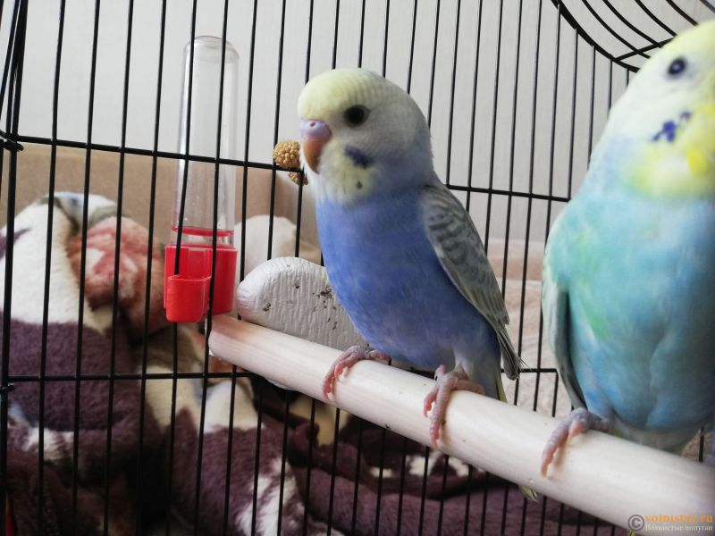 Какого окраса ваши попугаи и какого у них получились птенцы? - IMG_20200717_165310.jpg