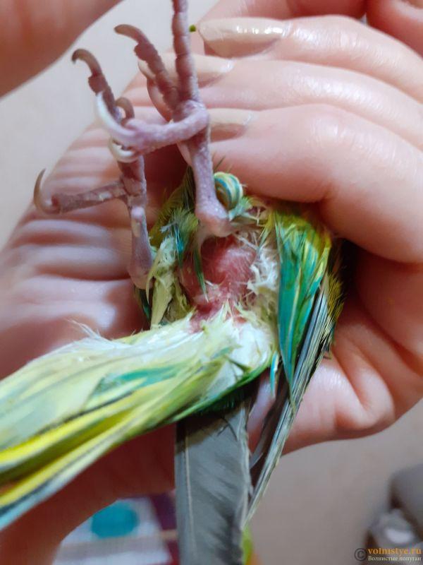 Помогите определить здоров ли попугай? - 2 - 20200727_214828[1].jpg