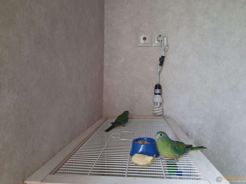 Продам травяных лазурных попугаев - 1.jpg