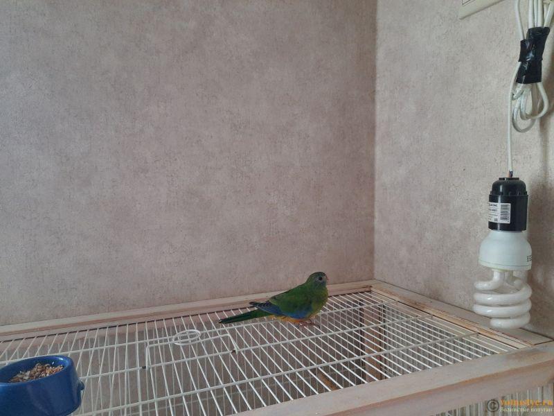 Продам травяных лазурных попугаев - 2.jpg