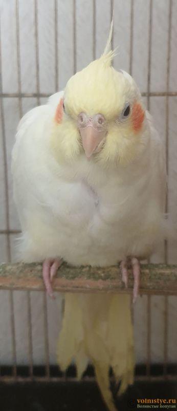 Определение пола и возраста попугаев корелла - 20200803_172129.jpg