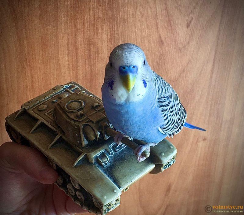 Какого окраса ваши попугаи и какого у них получились птенцы? - 7gjfhucI6Xg.jpg