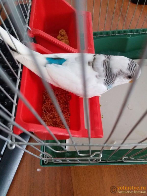 Какого окраса ваши попугаи и какого у них получились птенцы? - Спинка.jpg