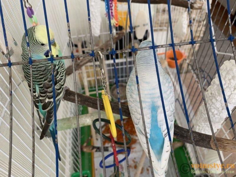 Какого окраса ваши попугаи и какого у них получились птенцы? - 46ED09D6-E399-4973-A14F-CAD3C8CB6932.jpeg