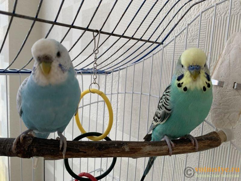 Какого окраса ваши попугаи и какого у них получились птенцы? - 0C7BF2EA-66F6-4B9E-80A9-FA70B7D85A8B.jpeg