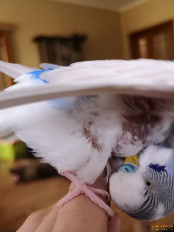 Лысеет попугай(( - IMG_20201013_134708.jpg