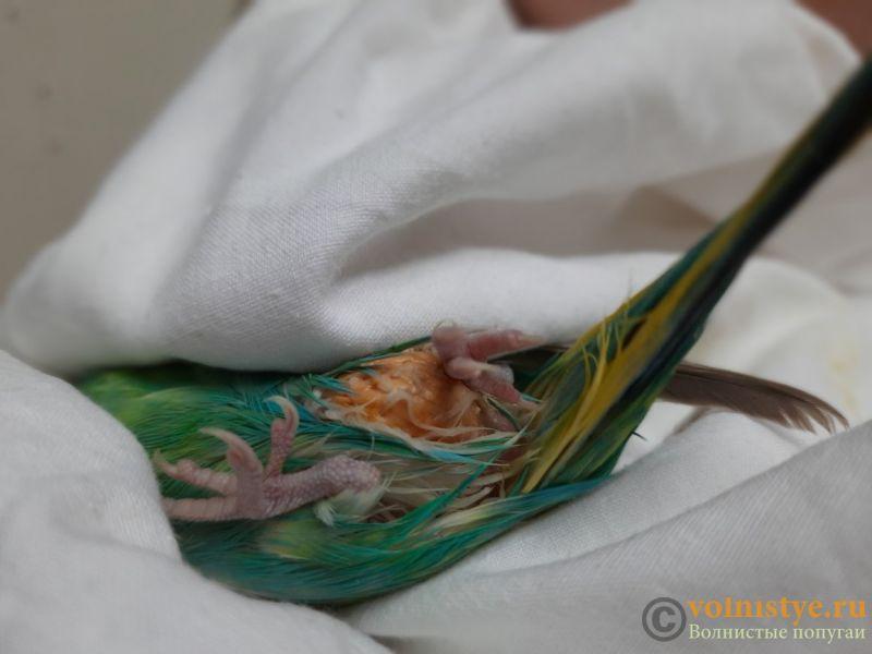 Опухоль (яйцо?) у самки волнистого попугая - 20201026_081429.jpg
