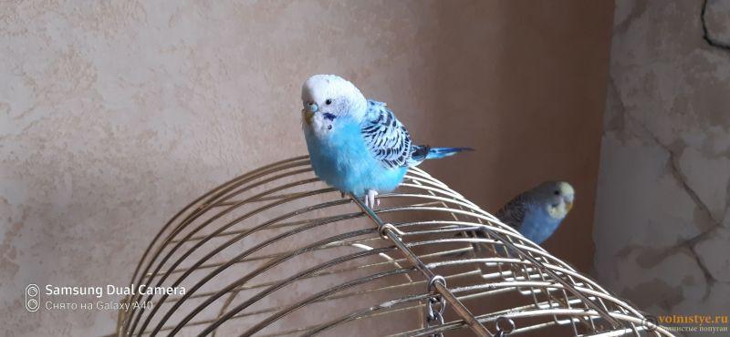 Какого окраса ваши попугаи и какого у них получились птенцы? - 16037636478064432116994504565166.jpg