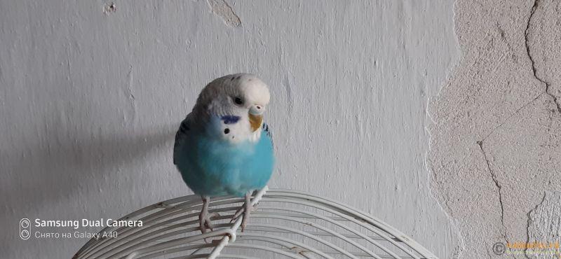Какого окраса ваши попугаи и какого у них получились птенцы? - 16037637334383728736916525969260.jpg