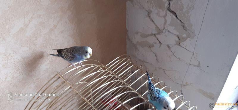 Какого окраса ваши попугаи и какого у них получились птенцы? - 16037637628342635078291886866873.jpg