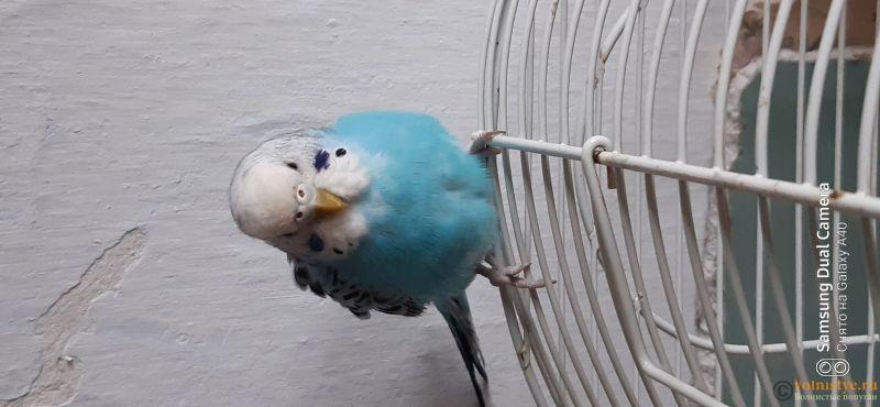 Какого окраса ваши попугаи и какого у них получились птенцы? - 16037640282264579546339973359697.jpg