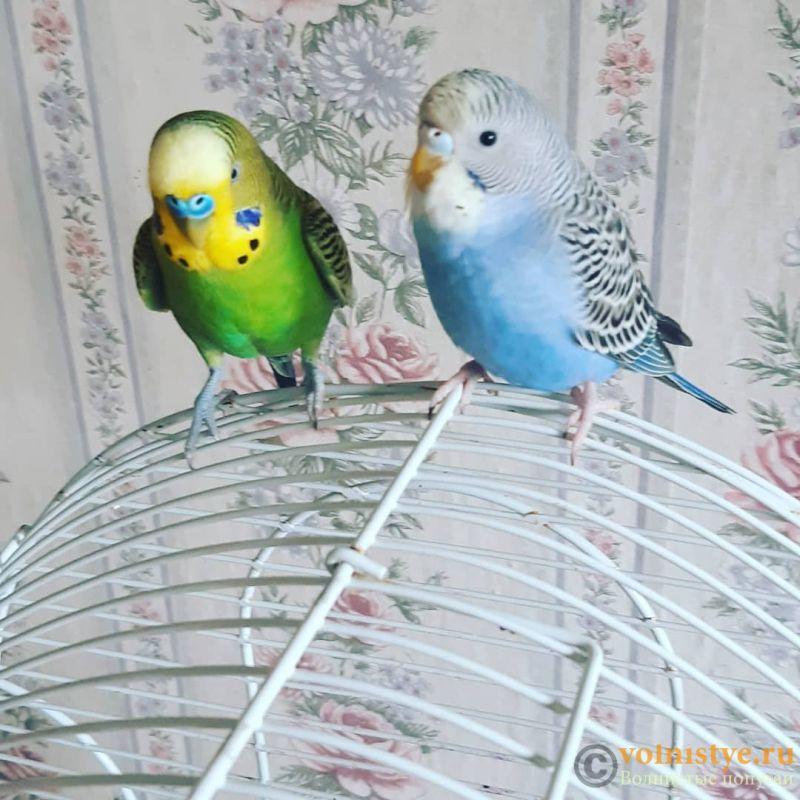 Какого окраса ваши попугаи и какого у них получились птенцы? - IMG_20200826_134955_994.jpg