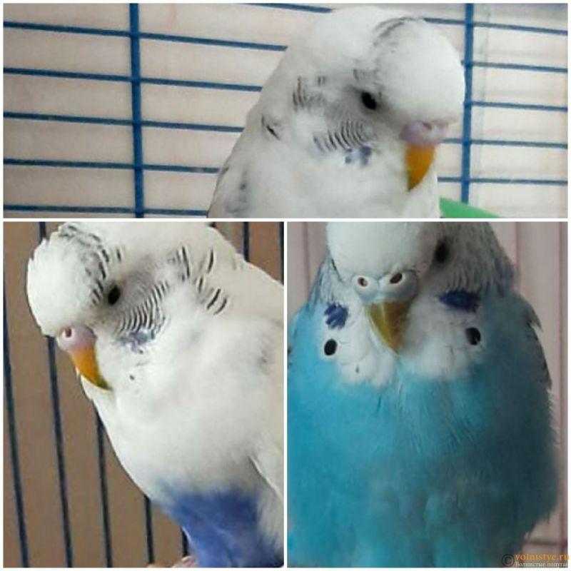 Какого окраса ваши попугаи и какого у них получились птенцы? - 20201023_141646.jpg