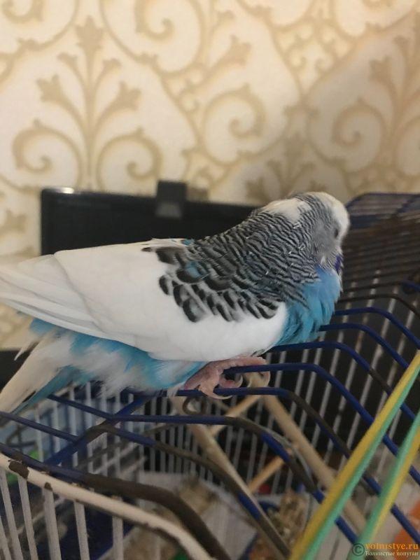 Паралич у волнистого попугая. Помогите, пожалуйста - FE8484C7-49D8-4832-A80A-179B8196D268.jpeg
