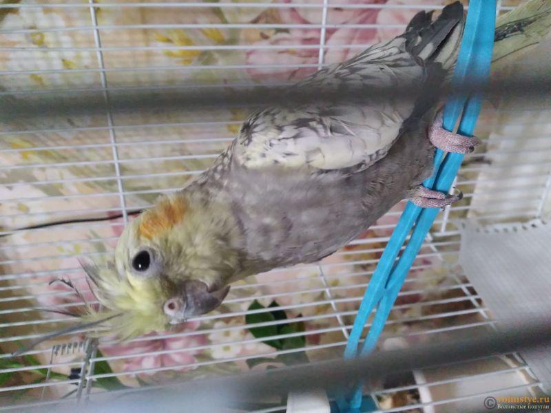Определение пола и возраста попугаев корелла - 20201205_232722.jpg