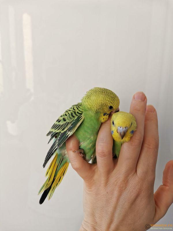 Какого окраса ваши попугаи и какого у них получились птенцы? - IMG_20201212_113149.jpg