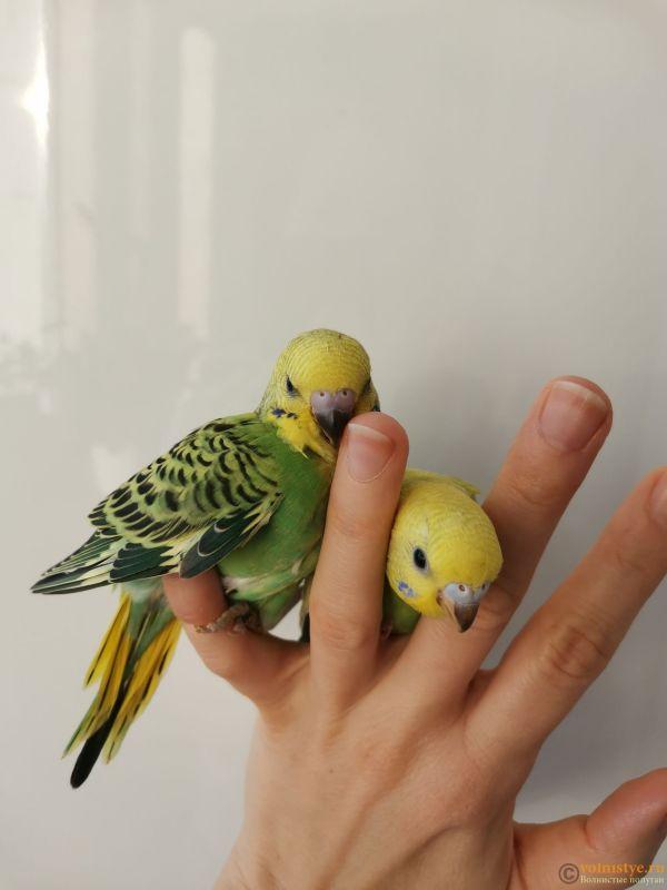 Какого окраса ваши попугаи и какого у них получились птенцы? - IMG_20201212_113131.jpg