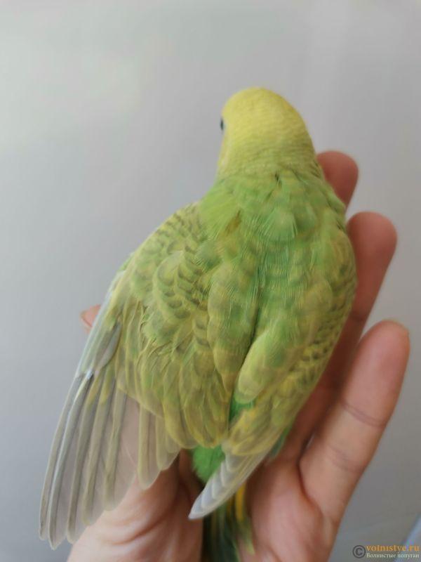 Какого окраса ваши попугаи и какого у них получились птенцы? - IMG_20201210_104015.jpg
