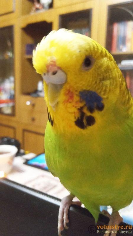 Помогите определить здоров ли попугай? - 2 - 9FQV26JuxVc.jpg